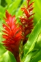 Hawaiian Red Ginger 1