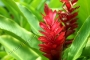 Hawaiian Red Ginger 2