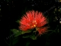 Lehua Flower of Hawaii